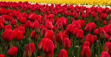 As tulipas na Holanda